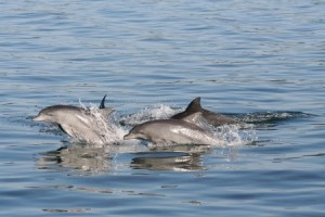 dolphin-watching-cruise-dolphins-port-stephens-nel1